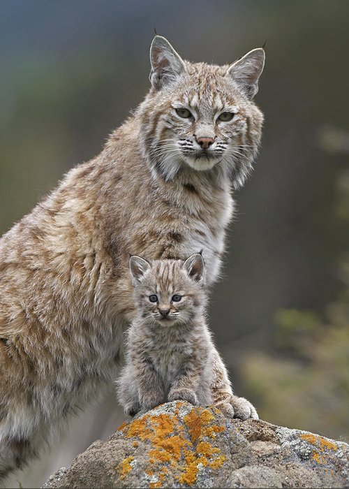 00177005 Greeting Card featuring the photograph Bobcat Mother And Kitten North America by Tim Fitzharris