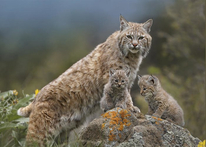 00177004 Greeting Card featuring the photograph Bobcat Mother And Kittens North America by Tim Fitzharris