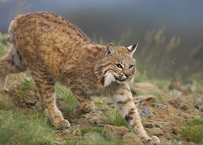 00176550 Greeting Card featuring the photograph Bobcat Stalking North America by Tim Fitzharris