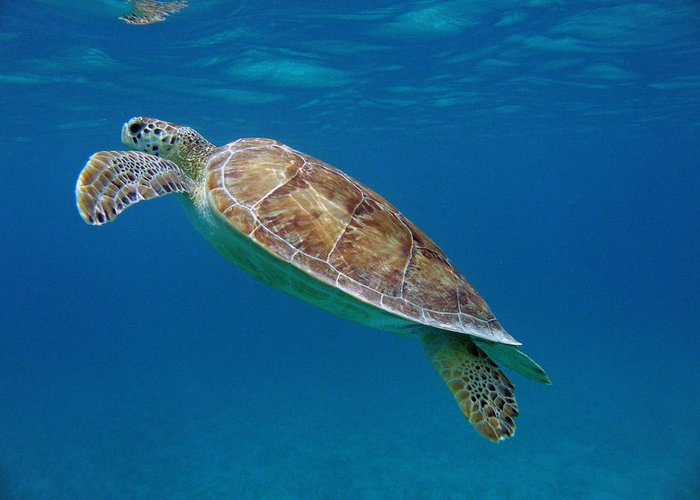 Green Sea Turtle Greeting Card featuring the photograph Breathe Green by Kimberly Mohlenhoff