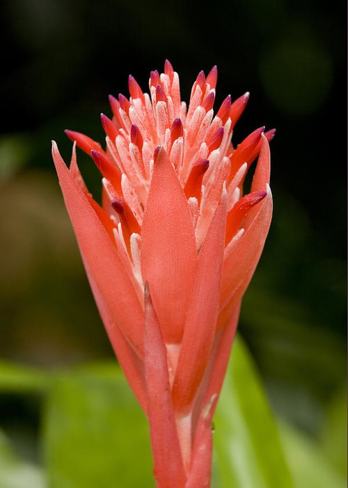 Closeups Greeting Card featuring the photograph Bromeliad Flower, An Epiphyte From C & by Tim Laman