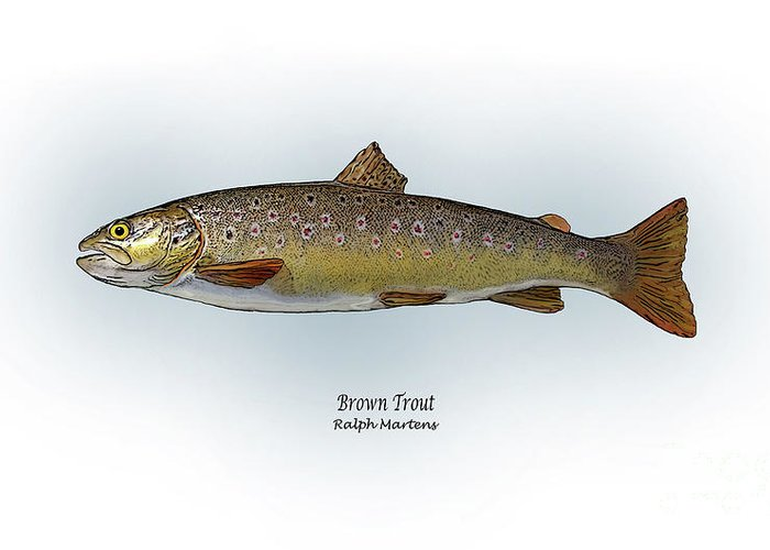 Brown Trout Greeting Card featuring the painting Brown Trout by Ralph Martens