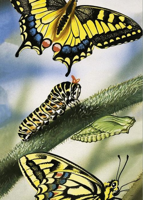 Animals; Nature ;wildlife; Countryside; Butterfly; Butterflies; Caterpillar Greeting Card featuring the painting Butterflies by English School