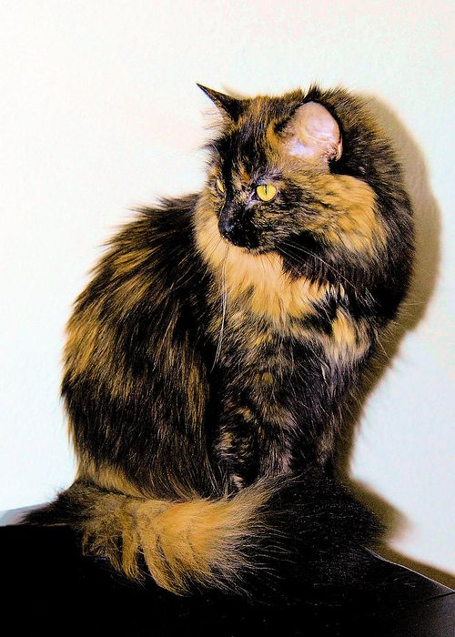 Cat Greeting Card featuring the photograph Calico Cats by Cheryl Poland