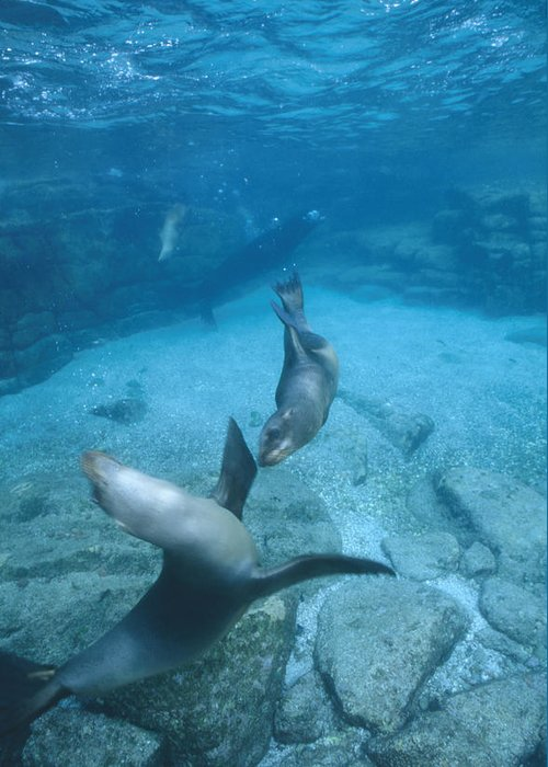 Diving Greeting Card featuring the photograph California Sea Lions At Play, Zalophus by James Forte