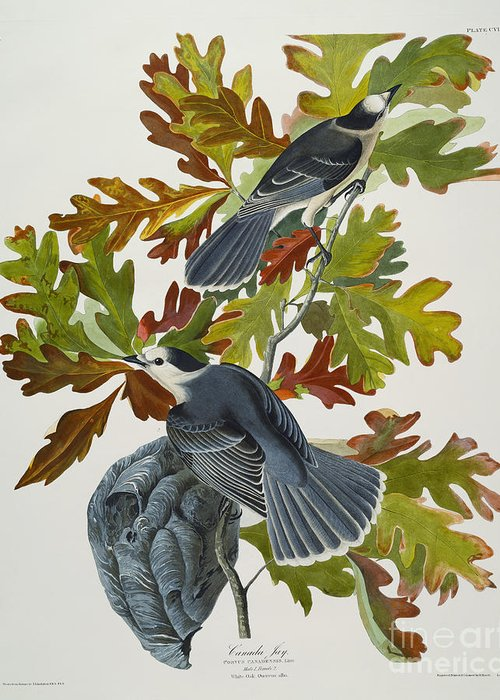 Canada Jay (corvus Canadensis) Plate Cvii From 'the Birds Of America' (aquatint & Engraving With Hand-colouring) By John James Audubon (1785-1851) Greeting Card featuring the drawing Canada Jay by John James Audubon