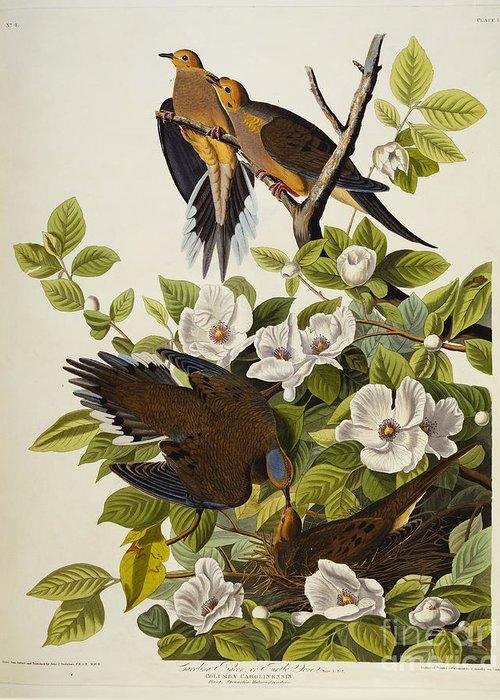 Carolina Turtledove. Mourning Dove Greeting Card featuring the drawing Carolina Turtledove by John James Audubon
