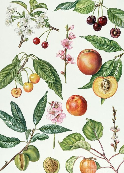 Morello Cherry; Sweet; Napoleon Bigarreau; Peach; Blossom; Nectarine; Almond; Apricot; Stone; Fruit; Botanical; Blossoms; Cherries; Nectarines; Almonds; Apricots; Peaches Greeting Card featuring the painting Cherries And Other Fruit-bearing Trees by Elizabeth Rice
