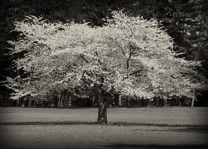 Black And White Greeting Card featuring the photograph Cherry Blossom Tree - Ocean County Park by Angie Tirado