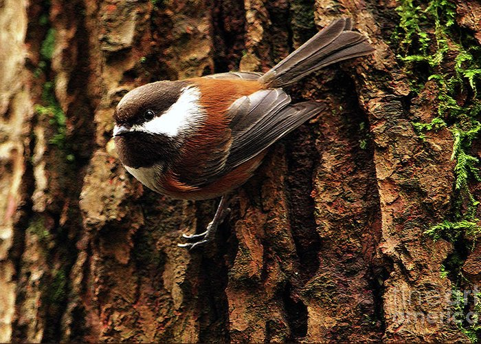 Chestnut-backed Chickadee Greeting Card featuring the photograph Chestnut-backed Chickadee On Tree Trunk by Sharon Talson