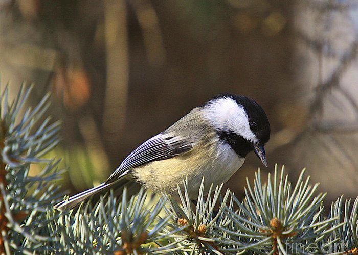 Additional Tags: Greeting Card featuring the photograph Chickadee-10 by Robert Pearson