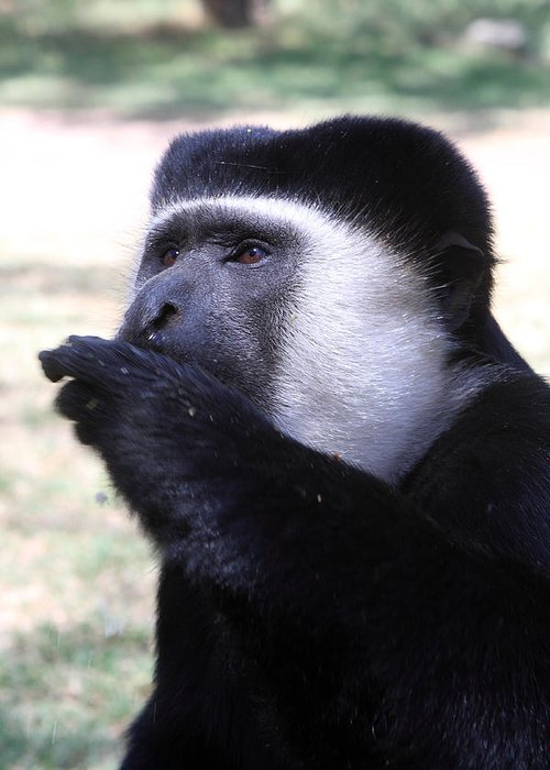 Colobus Greeting Card featuring the photograph Colobus Monkey by Aidan Moran