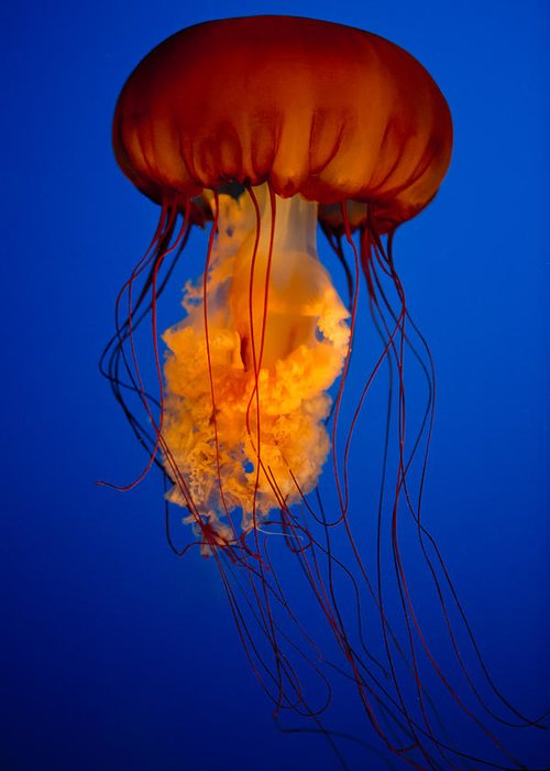 Jelly Fish Greeting Card featuring the photograph Colours Of The Jelly Fish by Naman Imagery