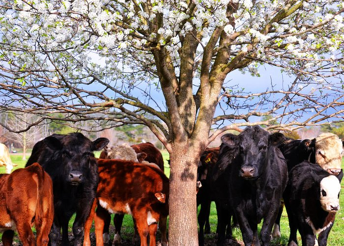 Angus Greeting Card featuring the photograph Cool Cows by Kelly Reber