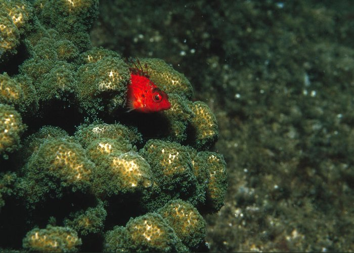 Sea Of Cortez Greeting Card featuring the photograph Coral Hawkfish Hiding In Coral by James Forte