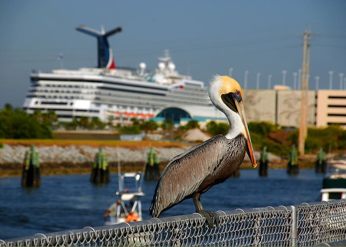 Pelican Greeting Card featuring the photograph Cruising Pelican by Susanne Van Hulst