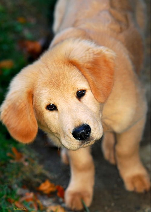 Retriever Greeting Card featuring the photograph Curious Golden Retriever Pup by Christina Rollo