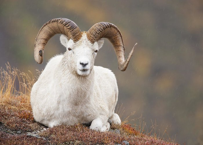 Dall Sheep Greeting Card featuring the photograph Dall Sheep Ram by Tim Grams