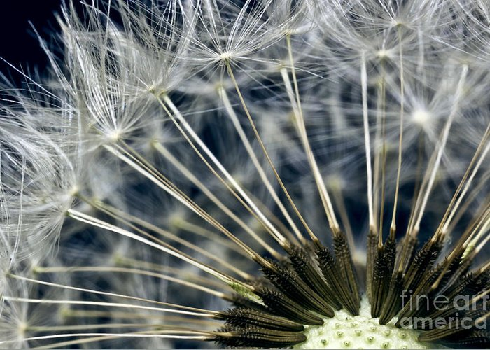 dandelion Snow Greeting Card featuring the photograph Dandelion Seed Head by Ryan Kelly