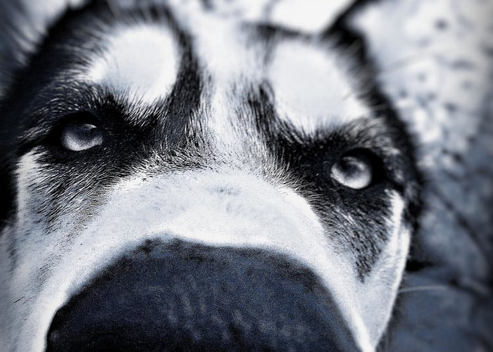 Siberian Husky Amazing Close Up Dog Dogs Nose Eyes Cool Beautiful Scary Wonderful Greeting Card featuring the photograph Diabolical Damien by Celestial Blue