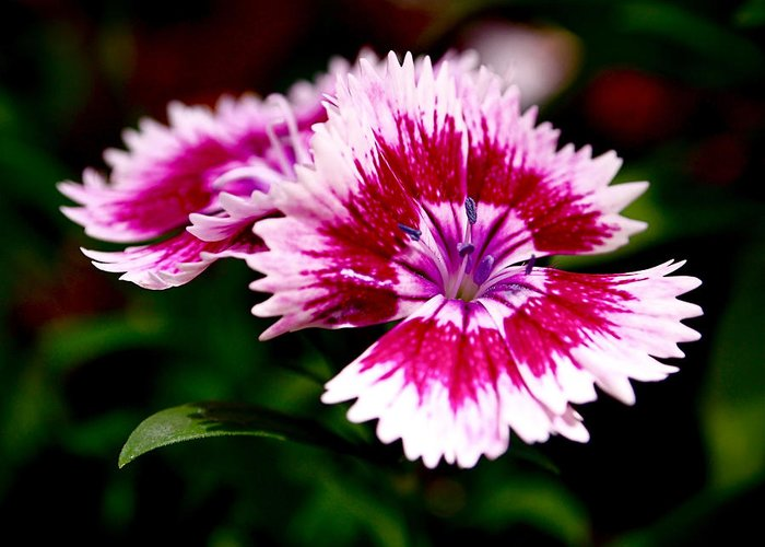 Sweet William Greeting Card featuring the photograph Dianthus by Rona Black