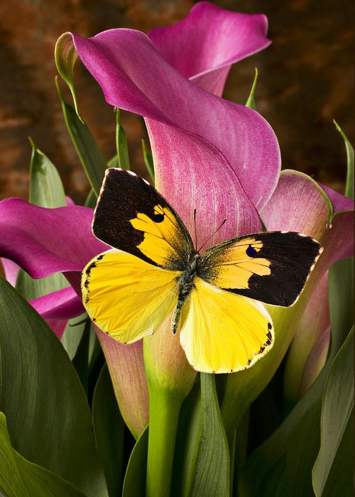 Butterfly Greeting Card featuring the photograph Dogface Butterfly On Pink Calla Lily by Garry Gay