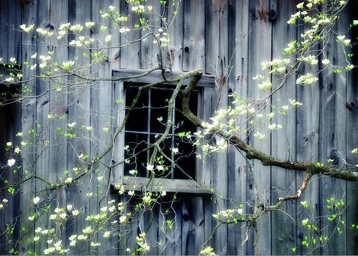 Spring Greeting Card featuring the photograph Dogwood Blossoms by Thomas Schoeller