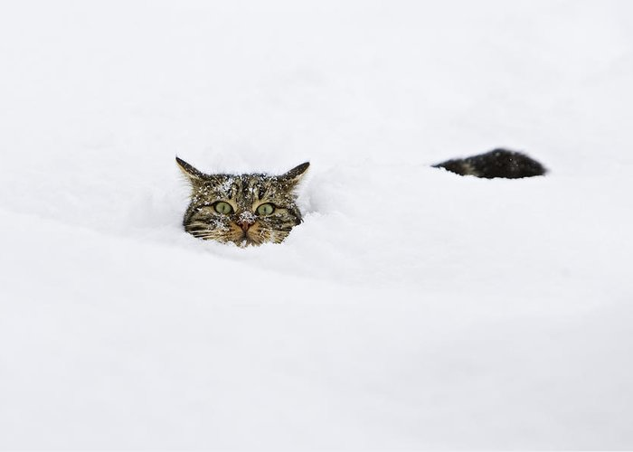 Mp Greeting Card featuring the photograph Domestic Cat Felis Catus In Deep Snow by Konrad Wothe