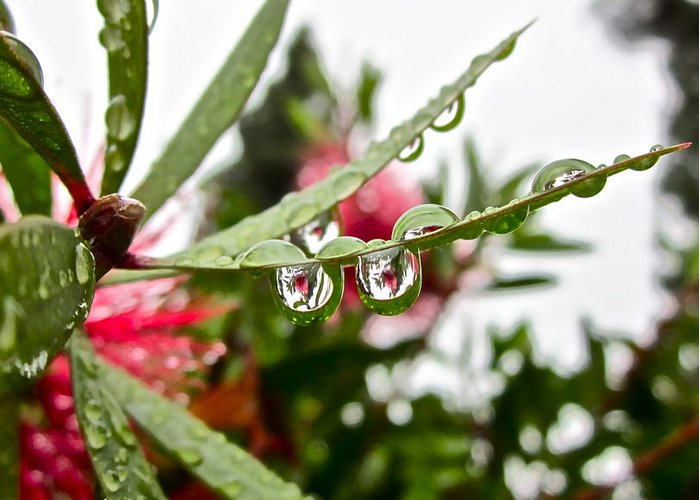 Rain Drop Greeting Card featuring the photograph Drip And Drop by Gwyn Newcombe