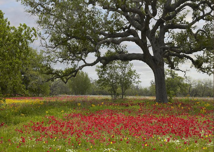 00442654 Greeting Card featuring the photograph Drummonds Phlox Meadow Near Leming Texas by Tim Fitzharris