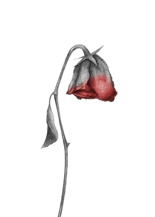 Dying Rose Drawings Drawer Greeting Card on facebook background