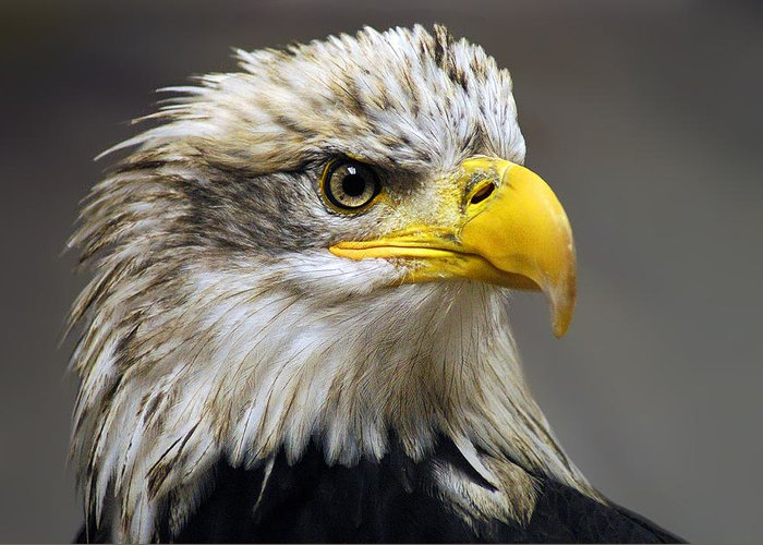 Eagle Greeting Card featuring the photograph Eagle by Harry Spitz