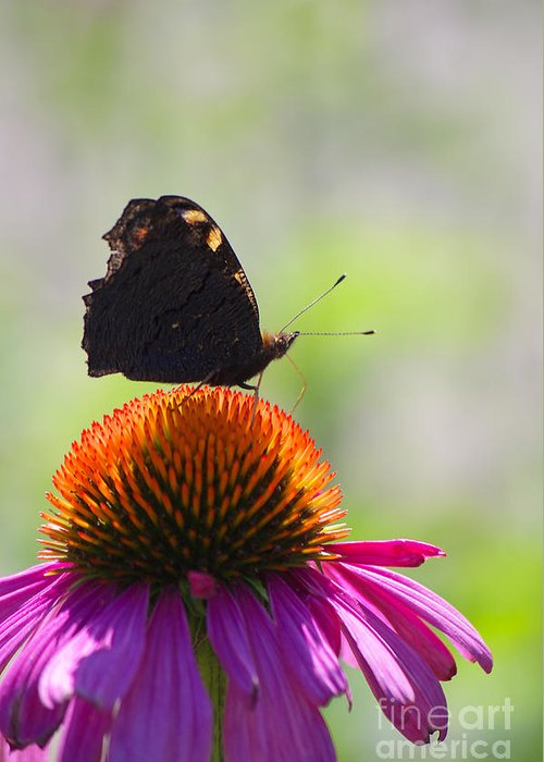 Echinacea Greeting Card featuring the photograph Feel The Summer by Angela Doelling AD DESIGN Photo and PhotoArt