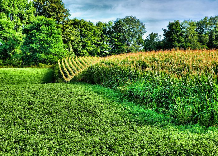 Cornfield Greeting Card featuring the photograph Field Of Dreams Iv by Steven Ainsworth