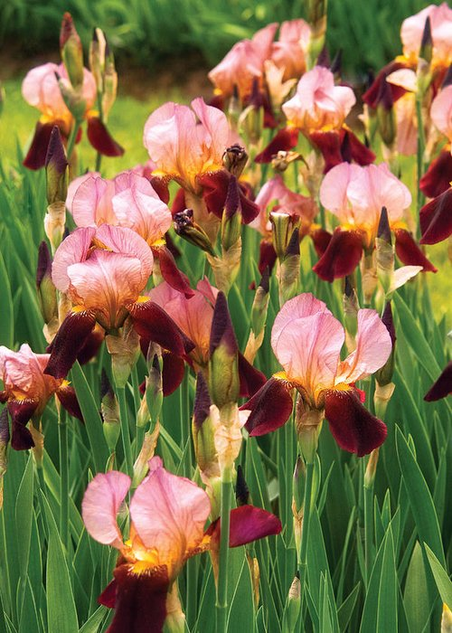 Bloom Greeting Card featuring the photograph Flower - Iris - Gy Morrison by Mike Savad