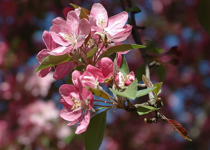 Dogwood Greeting Card featuring the photograph Flowering Pink Dogwood by Frank Mari