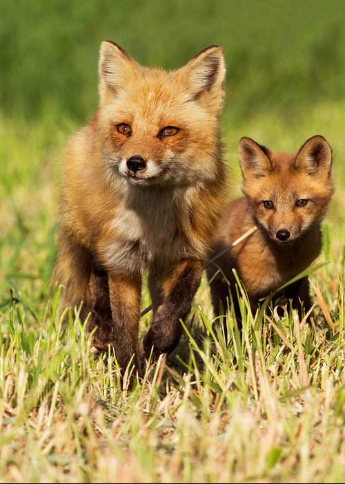 Pup Greeting Card featuring the photograph Fox Family by Mircea Costina Photography