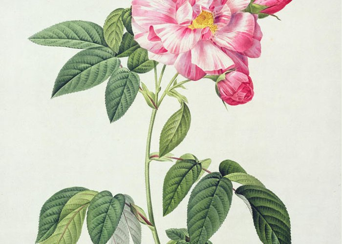 Rosa Greeting Card featuring the drawing French Rose by Pierre Joseph Redoute