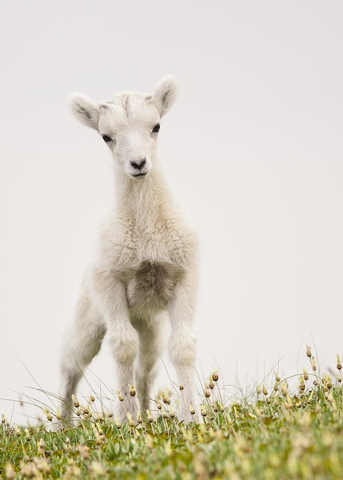 Dall Sheep Greeting Card featuring the photograph Frisky Lamb by Tim Grams