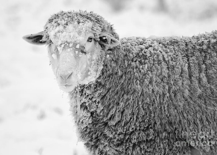 Sheep Greeting Card featuring the photograph Frozen Dinner by Mike Dawson