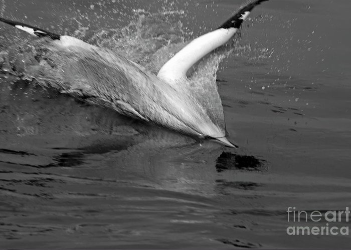 Animal Greeting Card featuring the photograph Gannet Northern Morus Bassan Setting On The Ocean Surface by Sami Sarkis