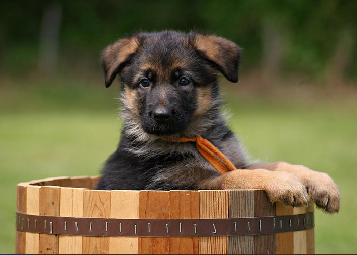 German Shepherd Greeting Card featuring the photograph German Shepherd Puppy In Planter by Sandy Keeton