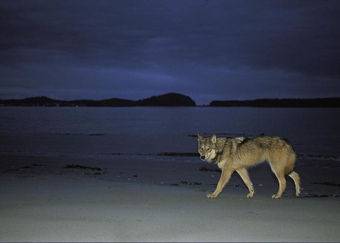 Pacific Ocean Greeting Card featuring the photograph Gray Wolf On Beach At Twilight by Joel Sartore