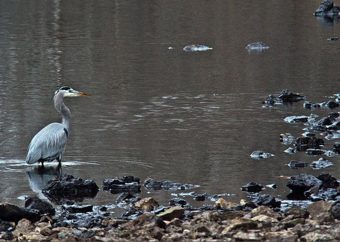 Great Greeting Card featuring the photograph Great Blue Heron Wading 1 by Douglas Barnett