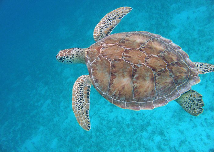 Green Sea Turtle Greeting Card featuring the photograph Green In Blue by Kimberly Mohlenhoff