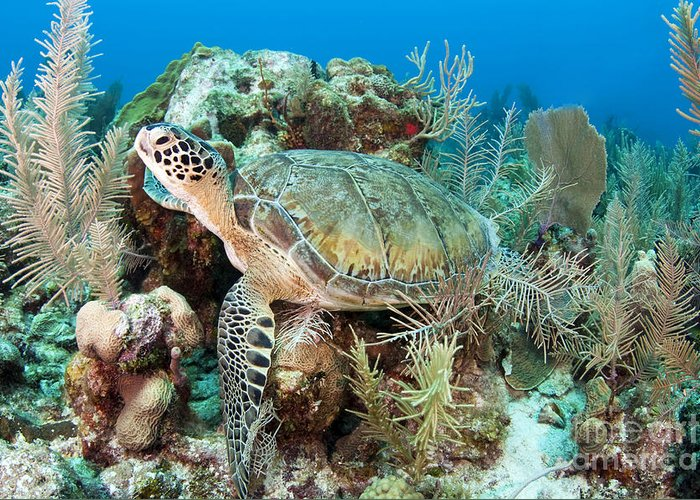 Coral Greeting Card featuring the photograph Green Sea Turtle On Caribbean Reef by Karen Doody