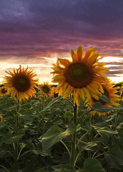 Appalachia Greeting Card featuring the photograph Happiness Is A Field Of Sunflowers by Debra and Dave Vanderlaan