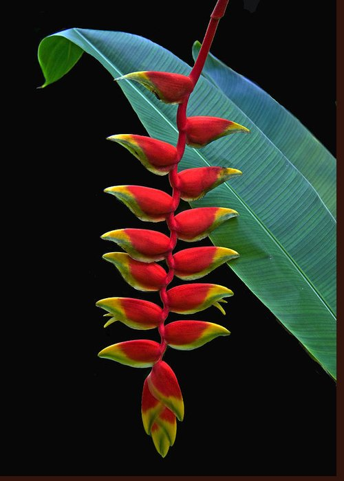 Heliconia Greeting Card featuring the photograph Heliconia by Larry Linton