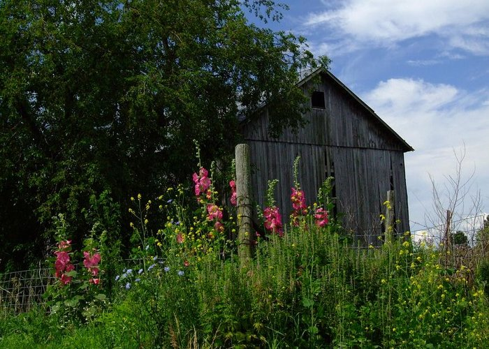 Indiana Farm Greeting Card featuring the photograph Hollyhock Barn by Michael L Kimble
