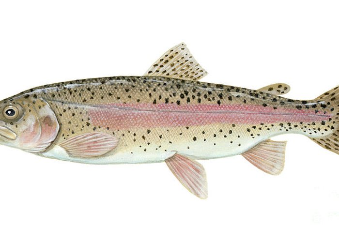 Side View Greeting Card featuring the digital art Illustration Of A Rainbow Trout by Carlyn Iverson